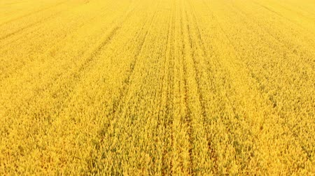 sponka : Flying close above vast yellow wheat field. AERIAL: Flight over cornfield. Drone view. Harvest, agriculture concept. Summer season. HD footage.