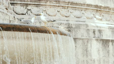 bernini : Seagull swimming in cold water at summer. Piazza Venezia, Rome. Old fountain, statue. slowmotion.