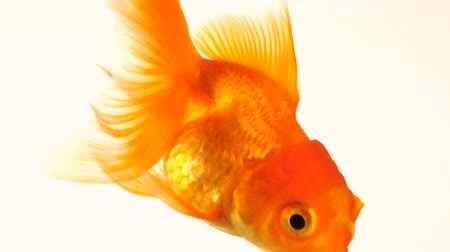 pomarańcza : Single adult goldfish with fins swimming in aquarium isolated on white background. The fish float in the water column. Close up view footage. Animal pets concept.
