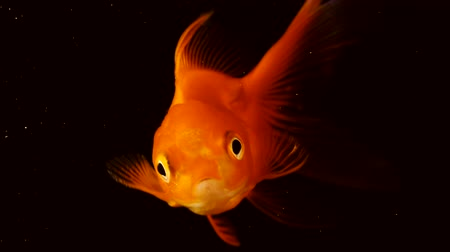 vay : The fish float in the water column. Single adult goldfish with fins floating in fishbowl. Isolated on black background. Close up view footage