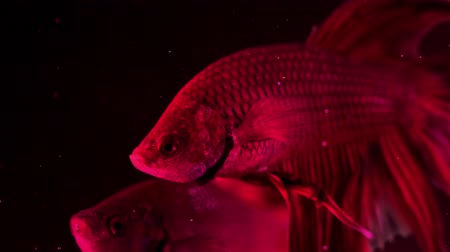 sziámi : Couple of red siamese fighting fish - betta splendens. Aquarium fish swimming in front of isolated black background. Slow motion footage