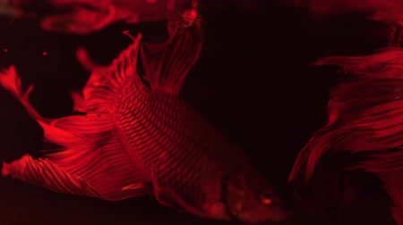 sziámi : Couple of red siamese fighting fish - betta splendens. Aquarium fish swimming in front of isolated black background.