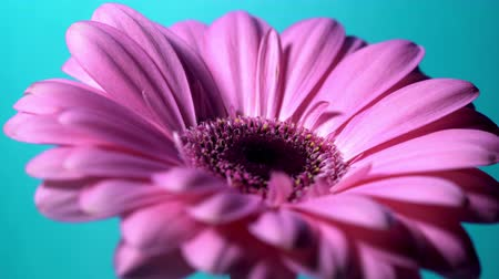 harmatcsepp : Pink magenta gerbera flower rotating from right to left on blue isolated background. Beautiful single blooming gerbera. Daisy is flower of Asteraceae family. 4k. Stock mozgókép