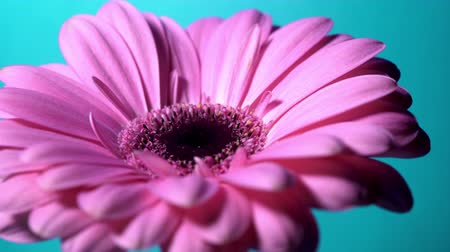 seasons changing : Pink magenta gerbera flower rotating from left to right on blue isolated background. Beautiful single blooming gerbera. Daisy is flower of Asteraceae family. 4k.