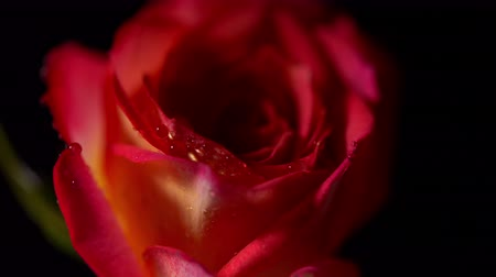 lighting up : Red rose with water drops rotating on black isolated background. Beautiful single blooming flower Stock Footage