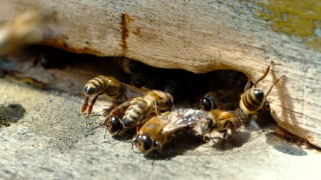 artrópode : Apiary. Bees working, bring floral nectar and pollen to hive, create sweet honey. Macro footage
