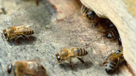 honey comb : Apiary. Bees working, bring floral nectar and pollen to hive, create sweet honey. Macro footage