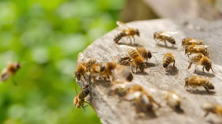 elfog : Apiary. Bees working, bring floral nectar and pollen to hive, create sweet honey. Macro footage.