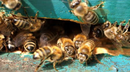 ismert : Apiary. Bees working, bring floral nectar and pollen to hive, create sweet honey. Macro footage.
