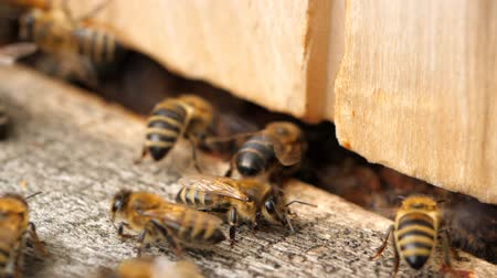 insetos : Apiary. Bees working, bring floral nectar and pollen to hive, create sweet honey. Macro footage.