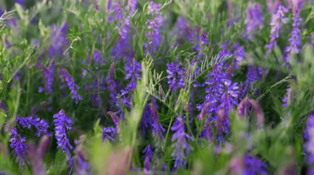 salvia : Beautiful purple sage salve flowers in field. Spring day.