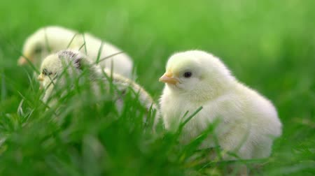 bird learning : Little yellow chickens sitting in green grass, moving heads and pecking grass. Beautiful and adorable chicks.