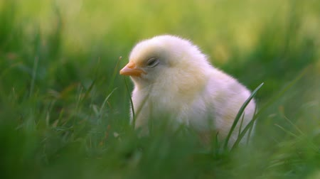 curioso : Little yellow chicken sitting in green grass, moving heads and pecking grass. Beautiful and adorable chick.