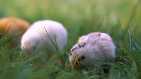 rozmazaný : Little yellow chickens sitting in green grass, moving heads and pecking grass. Beautiful and adorable chicks.