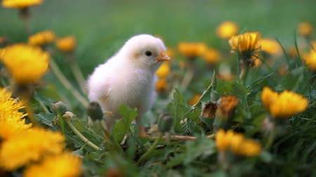 descobrir : Little yellow chickens sitting on lawn among dandelions, moving heads and pecking grass. Beautiful and adorable chicks.