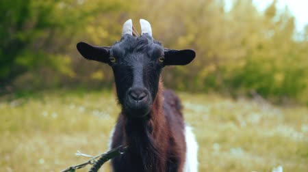 羊 : Curious happy black goat grazing in park. Portrait of funny goat. Farm animal looking at camera. 動画素材