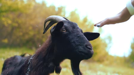 koza : Female hand touching curious happy goat which grazing in park. Portrait of funny goat.