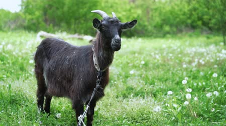 koza : Curious happy black goat grazing in park. Portrait of funny goat. Farm animal looking at camera. Dostupné videozáznamy