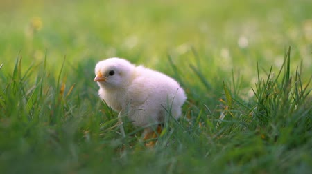 bird learning : Little yellow chicken sitting in green grass, moving heads and pecking grass. Beautiful and adorable chick.