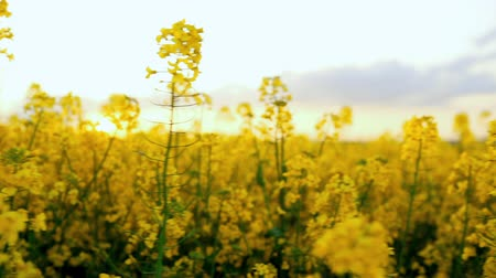 repce : Beautiful yellow flowers field close up view. Rapeseed oilseed rape is optimal raw material for production of biodiesel Stock mozgókép