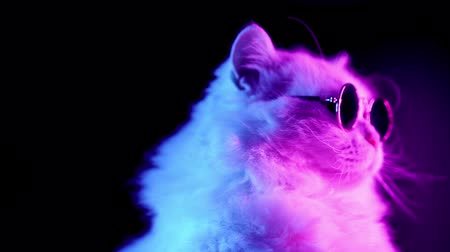 grey eyes : Portrait of highland straight fluffy cat with long hair and round glasses in neon light. Fashion, style, cool animal concept. Studio footage. White pussycat on dark background. Stock Footage