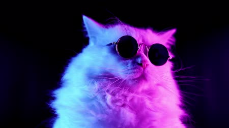 game hunting : Portrait of white furry cat in fashion eyeglasses. Studio neon light footage. Luxurious domestic kitty in glasses poses on black background.