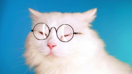 suíças : Cute domestic pet in round transparent glasses. Furry cat on blue background in studio. Animals, education, science concept.