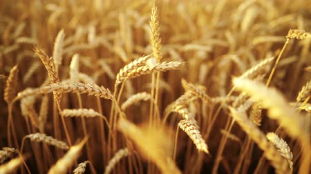 foods : Yellow ripe ears of barley plants swaying by wind in wheat field. Harvest, nature, agriculture, harvesting concept.