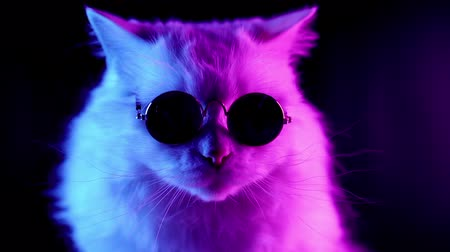 game hunting : Portrait of highland straight fluffy cat with long hair and round glasses in neon light. Fashion, style, cool animal concept. Studio footage. White pussycat on dark background. Stock Footage