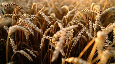 明るく照らされた : Yellow ripe ears of barley plants swaying by wind in wheat field. Harvest, nature, agriculture, harvesting concept.