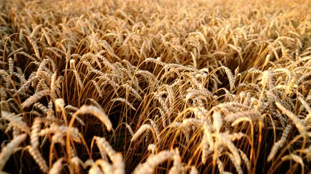 simbolismo : Camera moves forward over ripe golden wheat at sunset light. Harvest, nature, agriculture, harvesting concept.