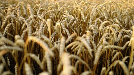 simbolismo : Yellow golden ripe ears of barley plants in wheat field. Peaceful scene. Background health concept.