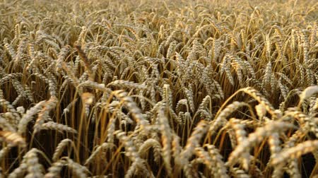 simbolismo : Yellow ripe ears, golden wheat field. Harvest, nature, agriculture, harvesting concept. Camera moving from left to right