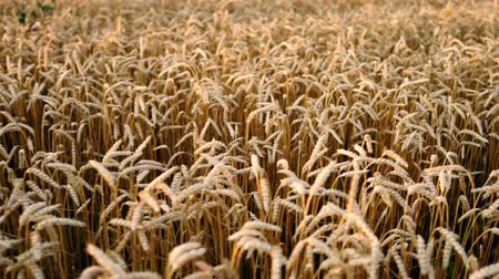 puffy cloud : Yellow ripe ears of barley plants swaying by wind in wheat field. Harvest, nature, agriculture, harvesting concept.