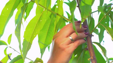 green peach : Female hands pluck ripe fruits from peach tree in summer garden. Beautiful scene, harvest concept. Healthy eating. Stock Footage