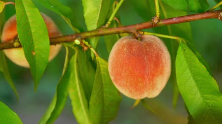 green peach : Female hand pick ripe juicy peaches from peach tree. Branch in fruit garden. Clean orchard, harvest, sweet food concept.
