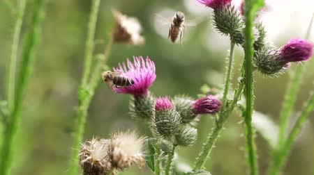 devedikeni : Bee on violet thistle flower collecting nectar. Common thistle (Cirsium vulgare) flower, also known as spear thistle or bull thistle.