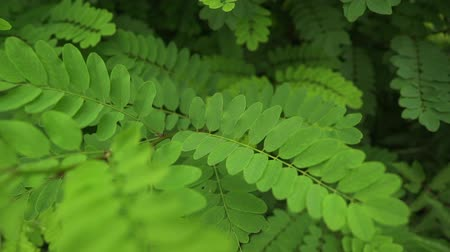 akacja : Summer acacia tree background. Green texture leaves. Beautiful fresh color.