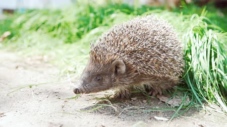 еж : Wild sweet hedgehog in nature background. Natural light. West european Erinaceus europaeus on green background Стоковые видеозаписи