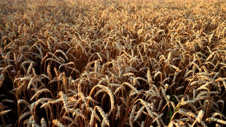 simbolismo : Yellow ripe ears of barley plants swaying by wind in wheat field. Harvest, nature, agriculture, harvesting concept.