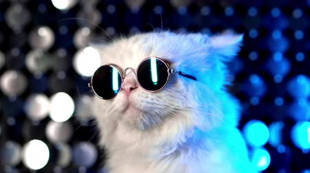 micio : Portrait of disco furry cat in fashion eyeglasses on studio neon shining wall. Luxurious domestic kitty in glasses poses on silver blue background.