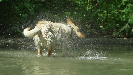 trained : Labrador bathes in river or lake in summer hot weather.Dog has fun,rejoice,walks in nature.Concept of pets, friendship, devotion Stock Footage