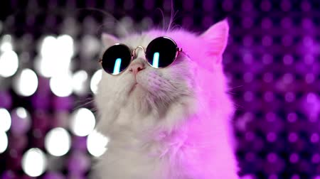 suíças : Luxurious domestic kitty in glasses poses on purple background.Portrait of white furry cat in fashion eyeglasses. Studio neon light footage.