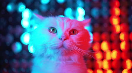 suíças : White cute furry cat on shiny flickering multi-colored background. Portrait of funny pet in neon disco club light Vídeos
