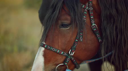 amazzone : Close-up portrait of brown beautiful harnessed horse. Farm animal, sport concept Filmati Stock