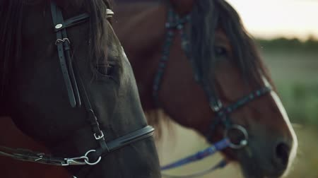 копыто : Close-up portrait of beautiful harnessed horse. Farm animal, sport concept Стоковые видеозаписи