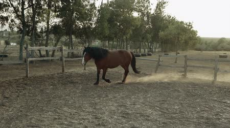 juba : Galloping run in sunset or sunrise light. Beautiful young horses run in the corral on ranch. Animal, farm concept