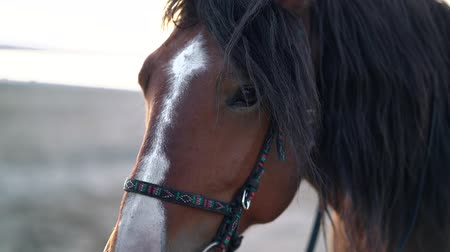 potro : Close-up portrait of brown beautiful harnessed horse. Farm animal, sport concept.
