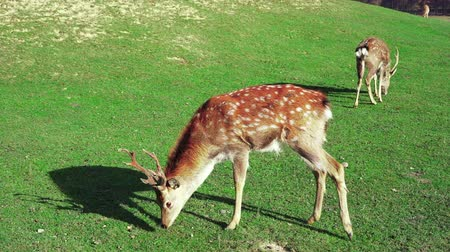 geyik : Young deer graze on green lawn, spring season. Cute animals on the farm. Slow motion.
