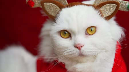 geyik : Portrait of a fluffy white cat in a Christmas decoration - deer horns and Santa Claus costume. New year, pets, animals meme concept. Stok Video